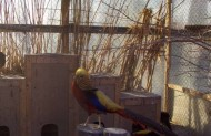 А ось один із красенів в вольєрі, Золотистий фазан.