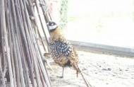а фазана ви відвідали...
