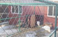 При страусах по-сусідстві живуть павичі індійські, кольоровий і білий, часом шикарно розкидають хвости.